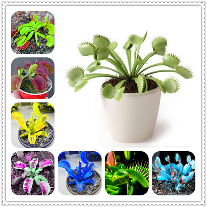 50Pcs Catching Flies Mosquitoes Seeds Plants carnivorous plant Perennial Potted