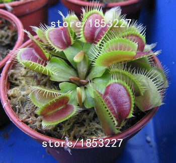 GGG 100 PCS Flytrap Seed Bonsai Potted Dionaea Muscipula Plant Seed Terrace Garden Carnivorous Plant Seed