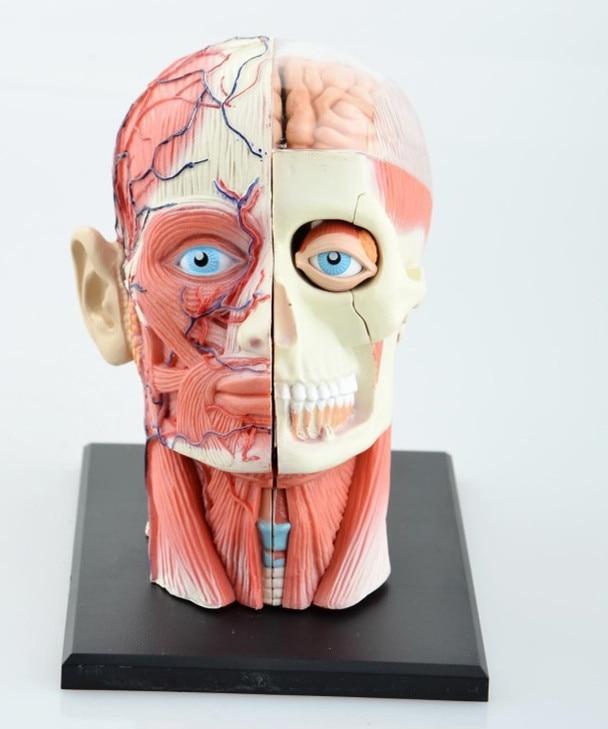 Laboratoire dentaire Dentiste 4D Tête Humaine Anatomie Médicale crâne modèle squelette Jamais après haute poupées