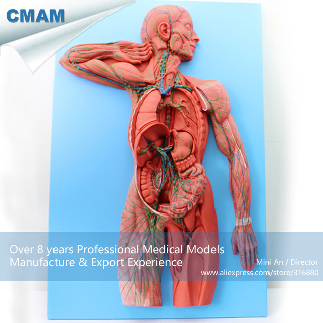 12489 Cmam Heart13 Human Lymphatic System Model For Hospital Patient