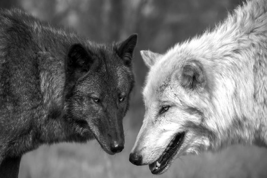 DIY frame Black and white Wolf Animal Art Silk Fabric Wall ... |White Wolf And Black Wolf Art