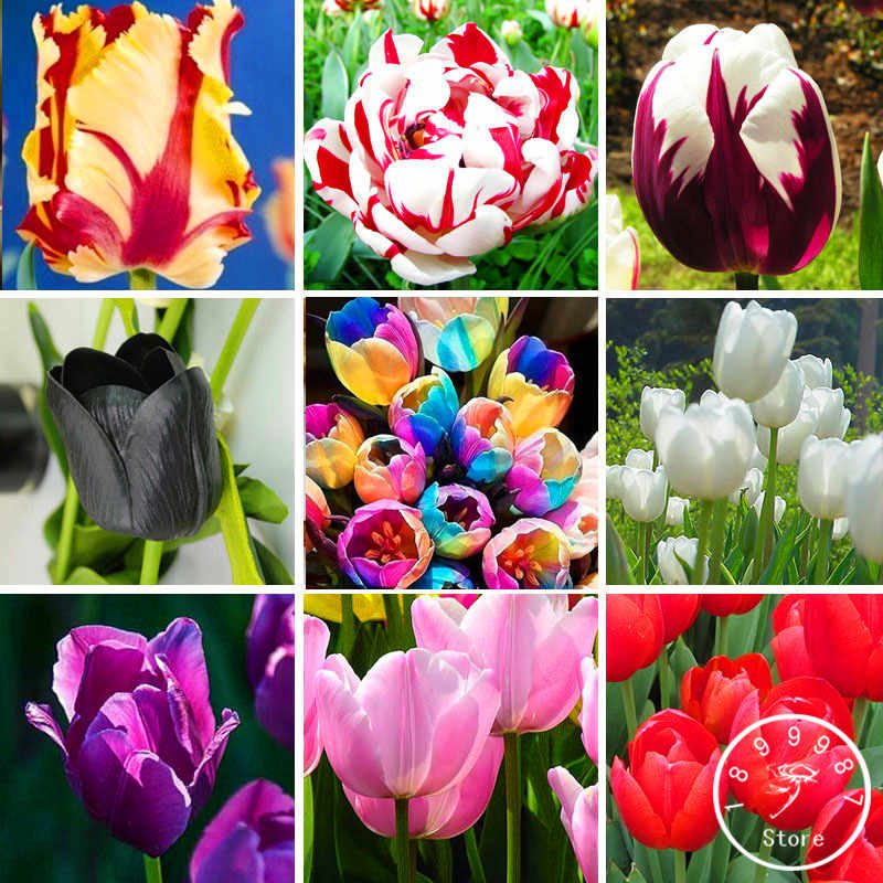 200 pcs/pack Netherland tulip Garden,19 color tulip flower Plantas bonsai potted plants,purify the air,ball for farm plant,#60F
