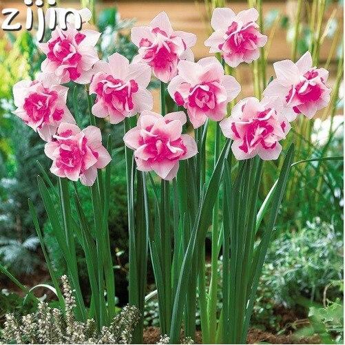 100 шт Нарцисс бонсай из цветов дафодил бонсай из цветов Растения двойные лепестки поглощение радиации горшках для Домашнего Цветоводства посадки