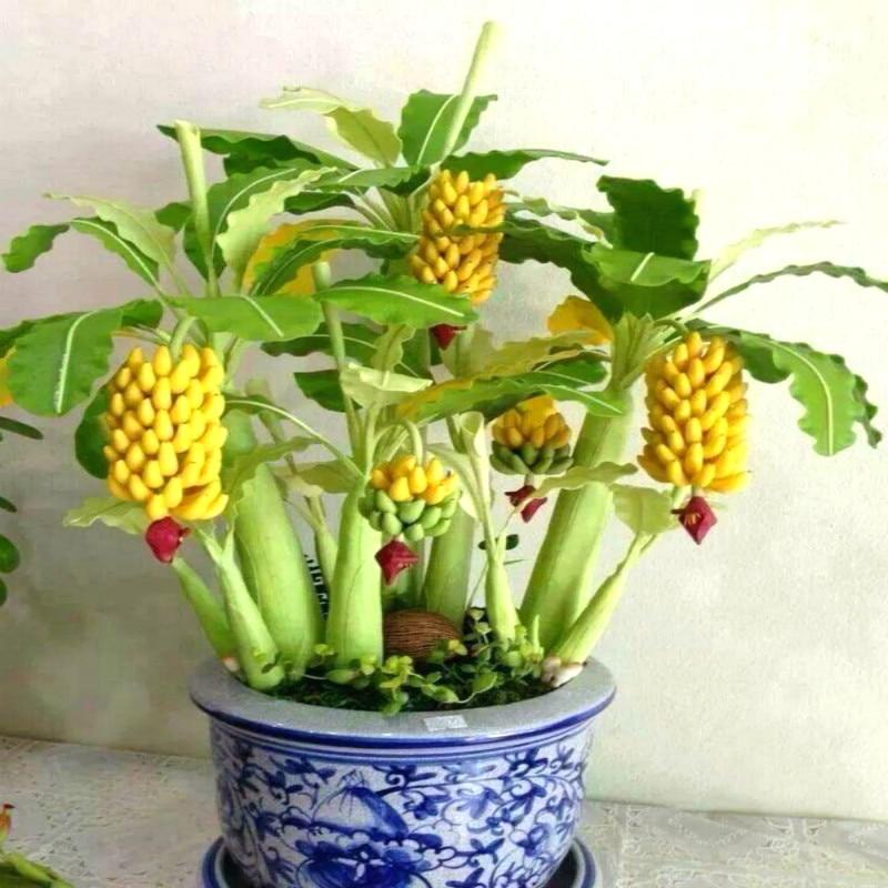 50 Particles Potted Banana Melon Seeds Beautiful Garden font b Bonsai b font Plants Golden Elongated