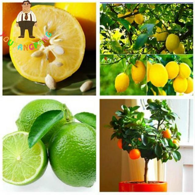 Neue Pflanzen 20 Teile Los Zitrone Pflanzen Obst Baume Topf Balkon