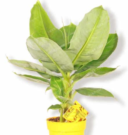 100 шт очень редкий банан бонсай фрукты, технология бонзаи редкий экзотический бонсай банан в горшке подарок декоративные растения для дома и сада Бесплатная доставка