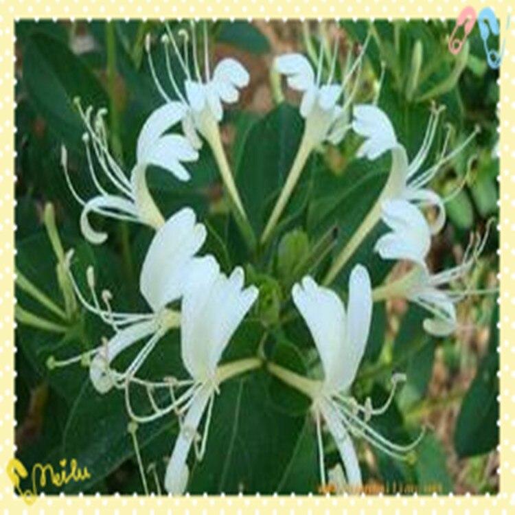 200g Lonicera Japonica thub Honeysuckle extract 10:1Chlorogenic acid 1kg garcinia cambogia extract hca 60% hydroxycitric acid