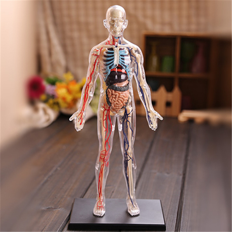 4D 1:6 Transparent Human Body Internal Organ Anatomy Medical Teaching Model Puzzle Assembling Toy Education Supplies  Laboratory