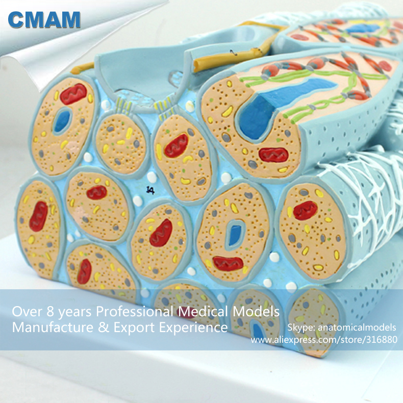 12491 CMAM-HEART15 Magnified Microscopic Cardiac Muscle Cell Anatomy Model, Medical Science Teaching Anatomical Models cmam a29 clinical anatomy model of cat medical science educational teaching anatomical models