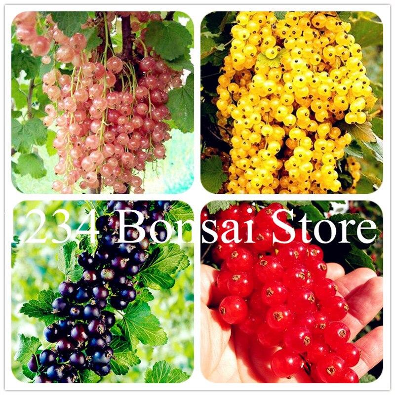 50 ks Ovoce z jahodníku, šťavnaté rybízy Bonsai Organické ovoce bonsai výživné Bonsai Potraviny Bonsai rostliny pro domácí zahradní nádobí