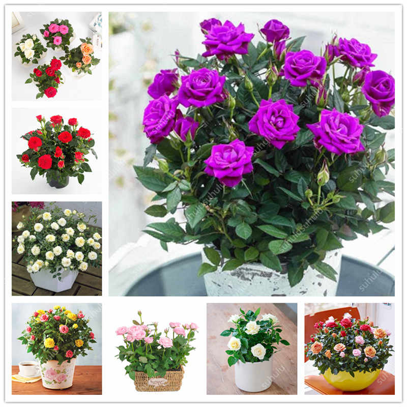 Mini Rose Bonsai 200 pcs Miniature Rose bonsai Cute Plants For Miniature Garden Plant Potted Gift Flower plant Easy to Grow