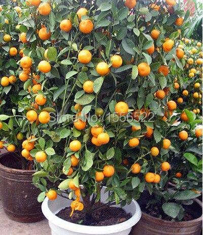 planter un oranger en pot