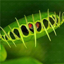 Hot sale!100pcs/bag Venus Flytrap seeds Funny ponsai Summer caught mosquitoes fly insects Carnivorous plants Dionaea muscipula