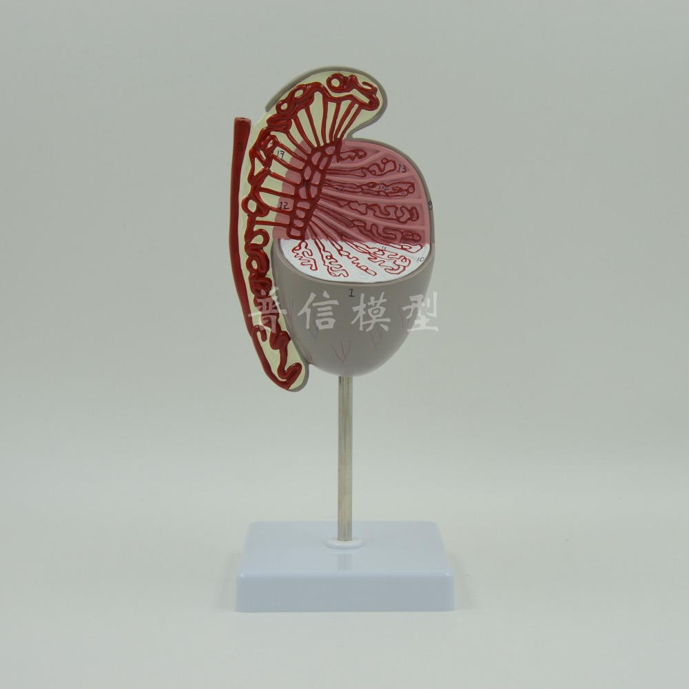DongYun brand Testis anatomical model genito-urinary system Medical Science teaching supplies dongyun brand human kidney anatomical model glomerulus amplification model urinary system medical science teaching supplies