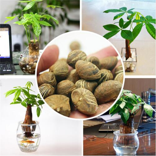 pachira seeds Money Tree Plant Seeds awesome bonsai Home Garden plant bonsai tree seeds 1pcs/bag