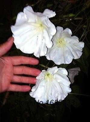 Moon flower vine seeds night blooming vine white flower fragrant moon flower vine seeds night blooming vine white flower fragrant 20 seeds mightylinksfo