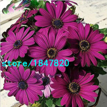 GGG Hot Selling Rare 100 pcs Purple Osteospermum Seeds Potted Flowering Plants Blue Daisy Flower Seeds for DIY Home & Garden