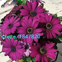 Hot Selling Rare 100 pcs Purple Osteospermum Seeds Potted Flowering Plants Blue Daisy Flower Seeds for DIY Home & Garden