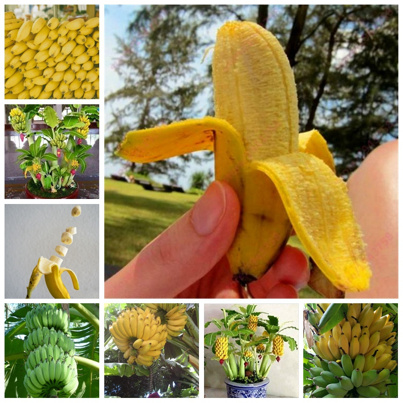 50 Pcs/ Bag Banana Melon Plants Beautiful Garden Bonsai Potted Edible Golden Elongated Fruit For Home Garden Decor Easy To Grow