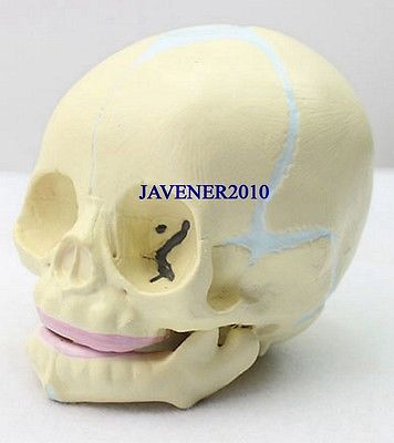 Human Anatomical Anatomy Baby Infant Fetus Skull Skeleton Medical Model