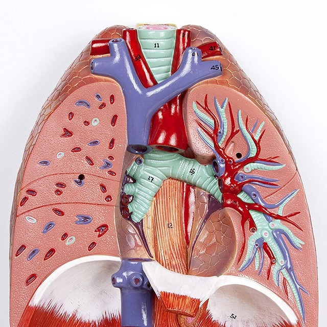 Human Anatomical Anatomy Respiratory System Medical Model Throat Heart Lung Lung With Larynx Medical Teaching Anatomical Model