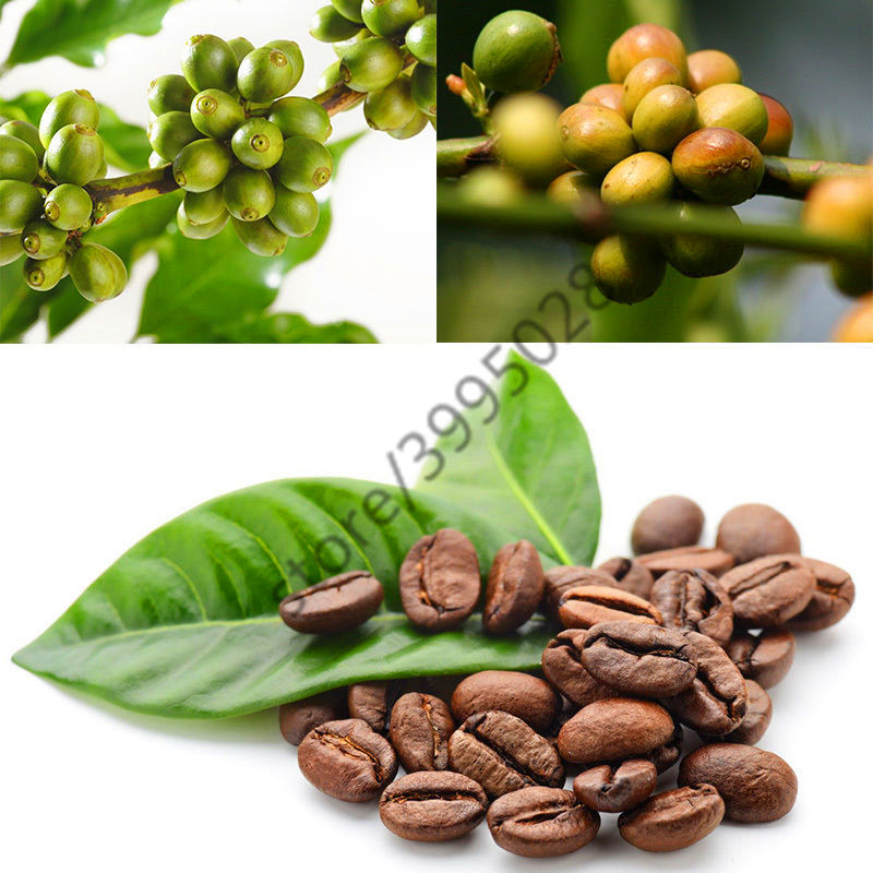 20Pcs Kona Coffee Bean Seeds Awesome Easy to Grow Fruit Seeds for DIY Home Garden Seeds