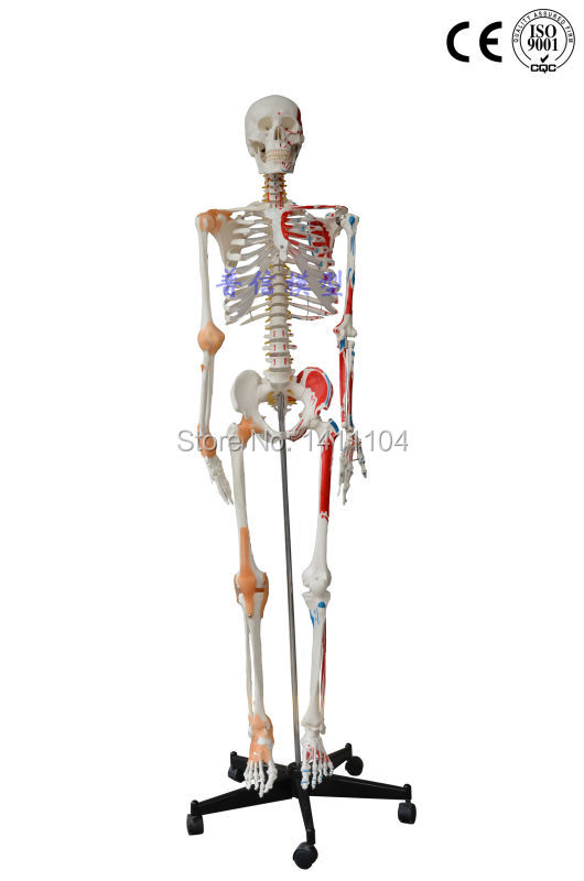 Free shipping Human body large bone with ligament muscle coloring 170cm medical large skeleton model for