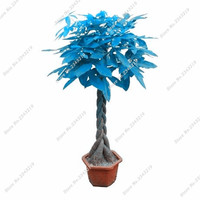 Blue Pachira Seed Money Tree Balcony & Courtyard Bonsai Tree Plants Diy Home Garden Household Pachira Aquatica Semillas 3 Pcs