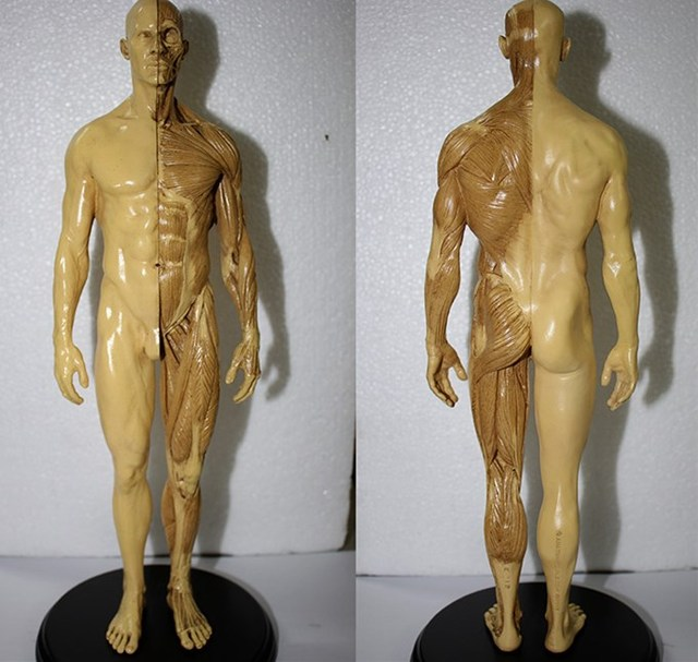 1:6 30cm human skeleton anatomical painting model for sale, Skeleton