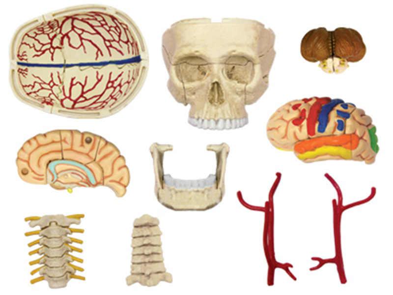 4D กะโหลกศีรษะมนุษย์ Anatomy Skeleton การสอนการแพทย์ Aid ปริศนาประกอบของเล่นห้องปฏิบัติการการศึกษาห้องเรียนอุปกรณ์