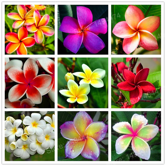 100pcs Home Garden Frangipani mixed color Plumeria rubra Flower Plantas Decoration Romance Egg Flowers bonsai plant home garden