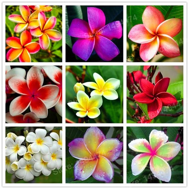 100pcs Home Garden Frangipani Mixed Color Plumeria Rubra Flower Seeds  Decoration Romance Egg Flowers Bonsai Plant