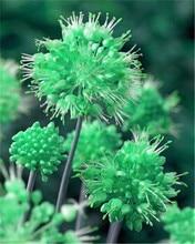 100 Pcs Rare Color Giant Allium Giganteum Beautiful Flower Seeds Garden Plant Perennial Flower Seeds,Germination Rate of 95%