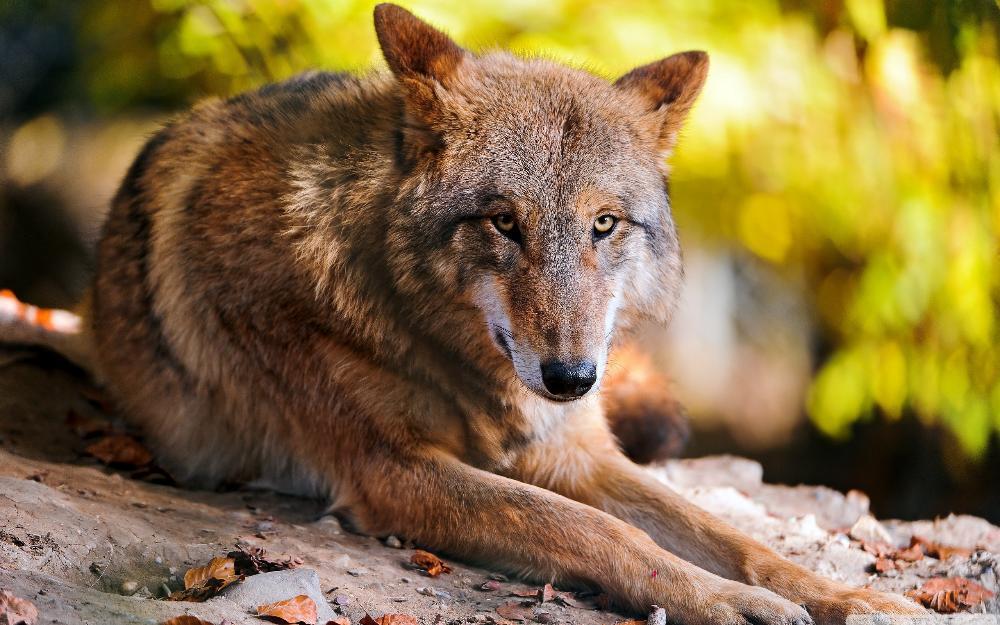 ᑎ‰Lobo descanso Sala hogar pared arte decoración madera marco tela ...