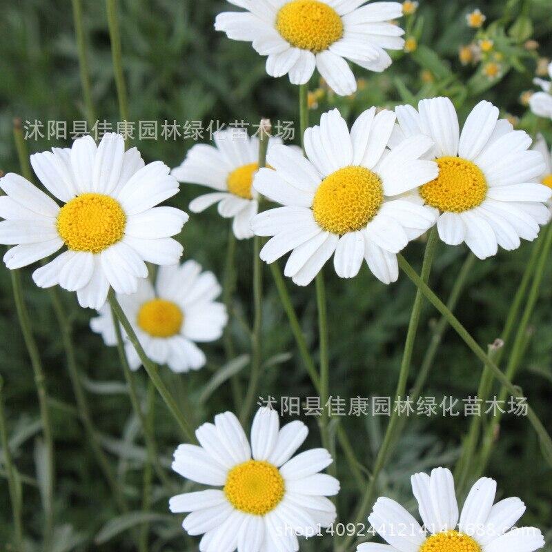 Pyrèthre fleur bonsaï herbe plante a blanc pyrèthre M. buster bonsaï fleur bonsaï multicolore 200 g/paquet