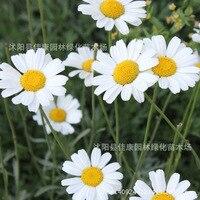 Pyrethrum цветок Бонсай Трава завод белый pyrethrum M. buster бонсай цветок бонсай многоцветный г/упак. 200