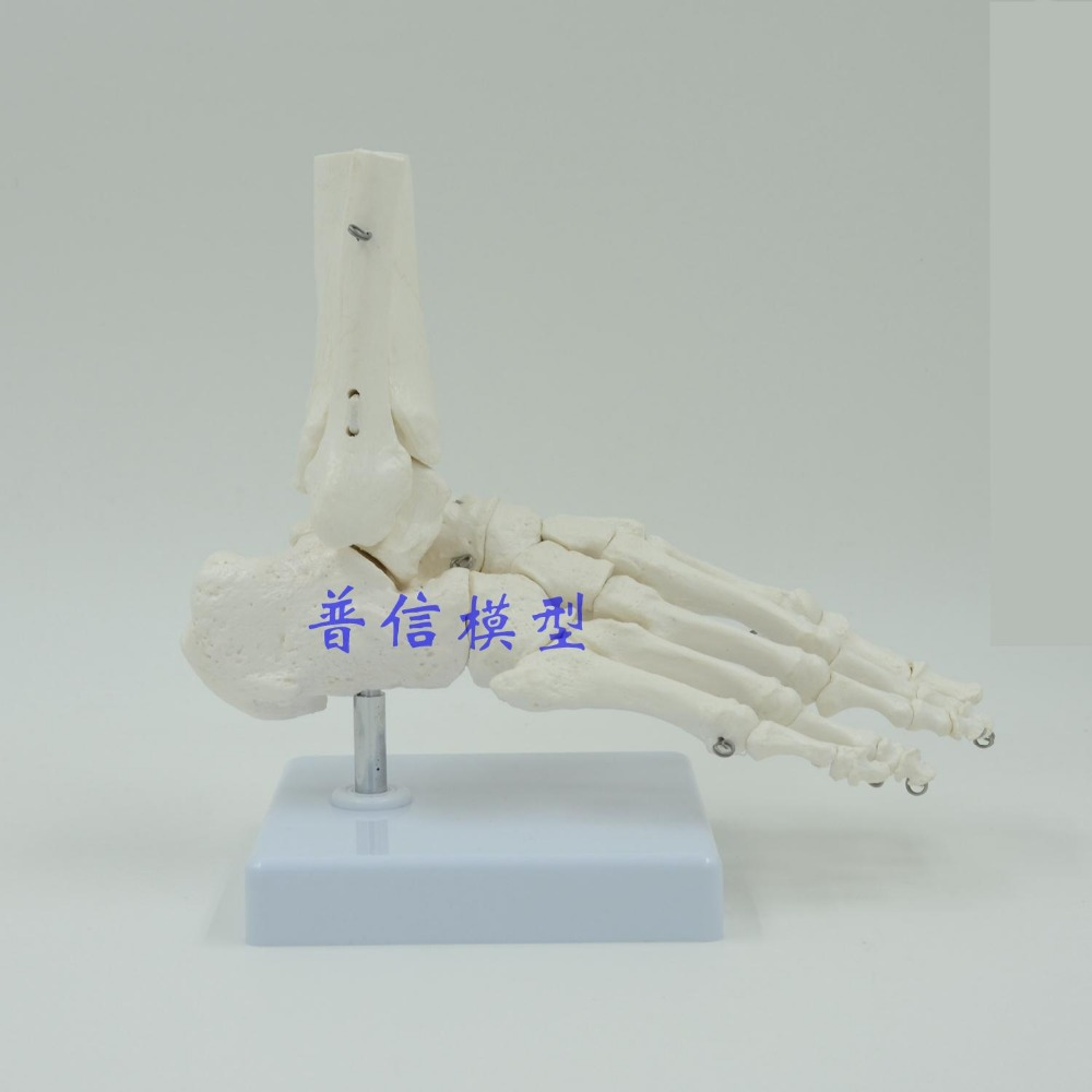DongYun brand Human foot ankle joint model foot skeleton model Medical Science teaching supplies dongyun brand human kidney anatomical model glomerulus amplification model urinary system medical science teaching supplies