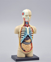 Small Human Torso Human Anatomy Model Human Bust Head Musculoskeletal Anatomical Models 32pcs Assemble Free Shipping