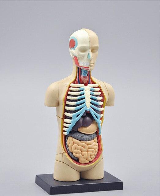 Kleine human torso Menselijk Anatomie model Menselijk buste/hoofd ...