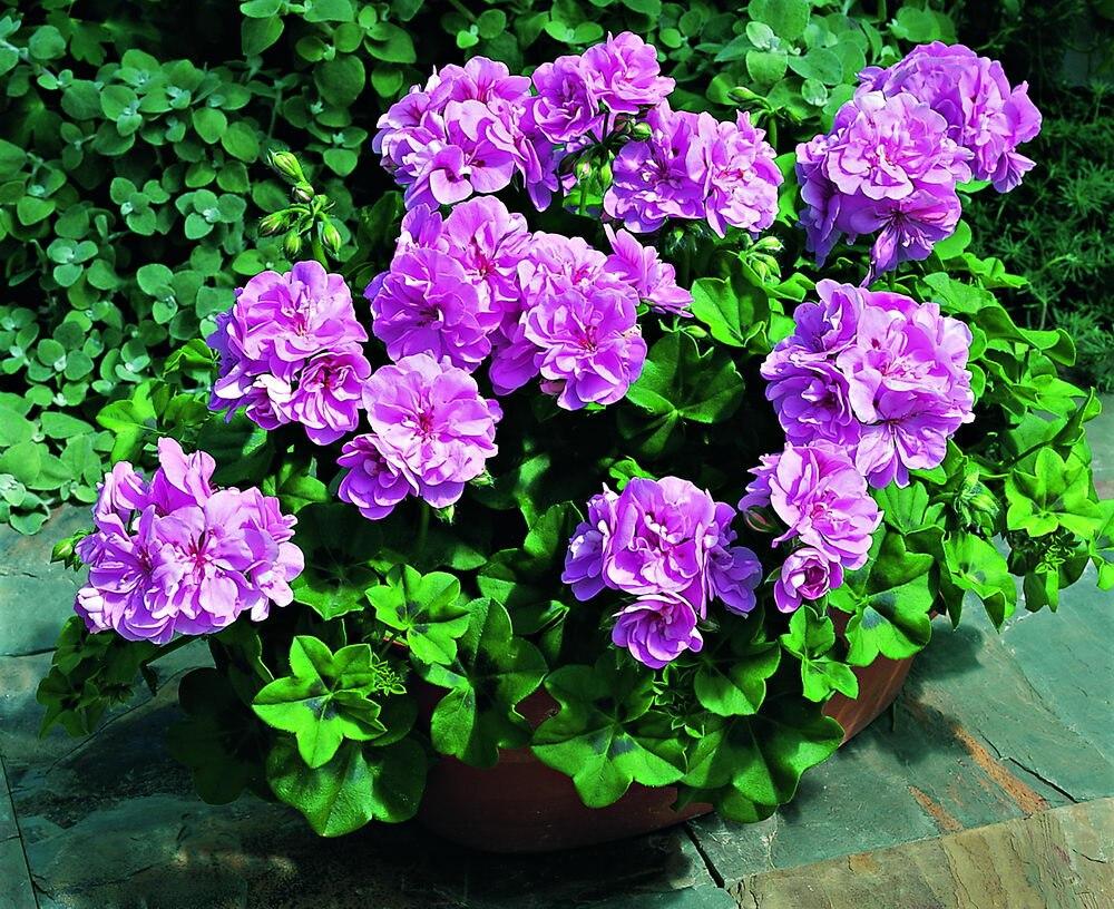 Hot sale 5 pcs rare bright purple geranium perennial flowers 5 pcs rare bright purple geranium perennial flowers heirloom garden pelargonium hortorum mightylinksfo