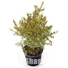 50 Pcs/Bag Bonsai Boxwood Good For Families Absorb Formaldehyde Potted Tree Decorative Greening Home Garden Plant Bonsai