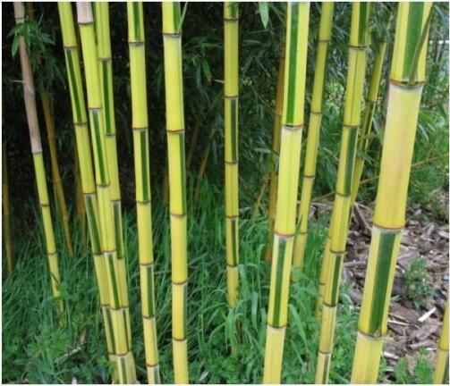 Rare Bamboo Seeds, Phyllostachys Aureosulcata Spectabilis, 50pcs/pack