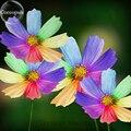 Amazing Rainbow Coreopsis, 50 Sementes, raros cosmos TS229T crisântemo flores jardim de casa