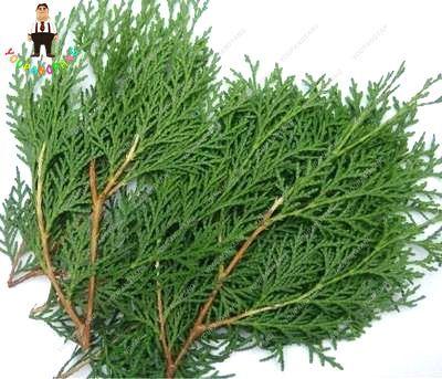 Nuovo Arrivo 50 pz Mini Cipresso piante Molto Facile Grow Albero bonsai Bella & Hardy Plantas Interna Per La Casa FAI DA TE e giardino