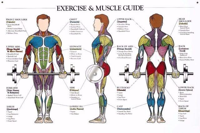 Tienda Online Sistema muscular anatómica imagen seda arte dormitorio ...