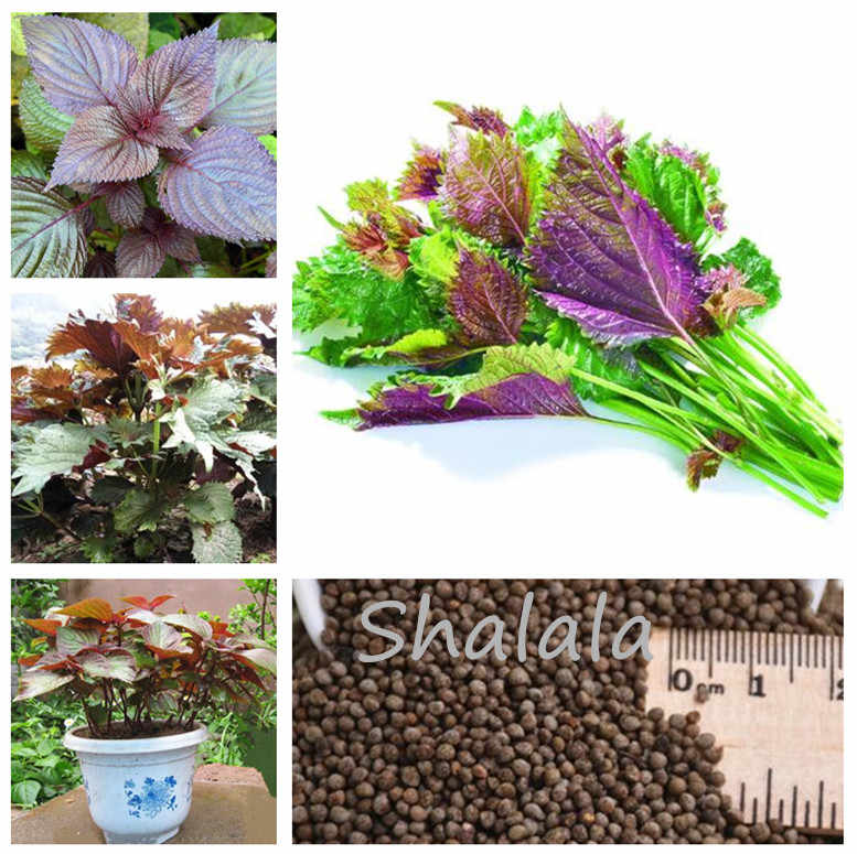 200 Pcs Purple Perilla Bonsai Vegetables Herb Shiso Bonsai Traditional Chinese Medicine Garden Flowers Spice Vegetable Plants