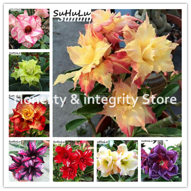 best top 10 bunga adenium ideas and get free shipping - 3nhh377b