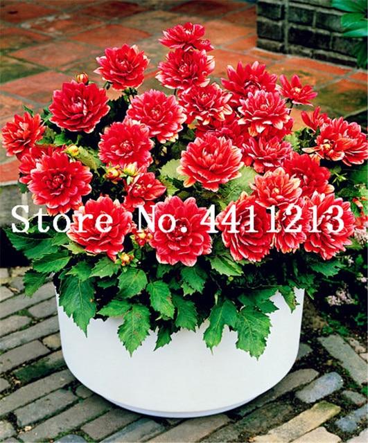 24 di colore Dahlia Dahlia Bonsai Reale Rare dahlia fiore Pianta Piante da Giardino Crescita Naturale Bonsai Giardino di Casa 100 pz Ornamentali Bonsai