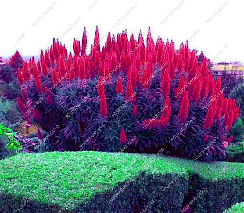 120Pcs Best-Selling Madeira Seeds Outdoor Plants- Rainbow Grass Echium Fastuosum Impressive Diy Home Garden Flower Seeds