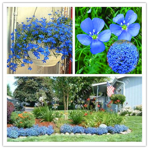 100 flax seeds blue flower flax seeds indoor balcony patio potted autumn flower seed in bonsai - Potted autumn flowers ...